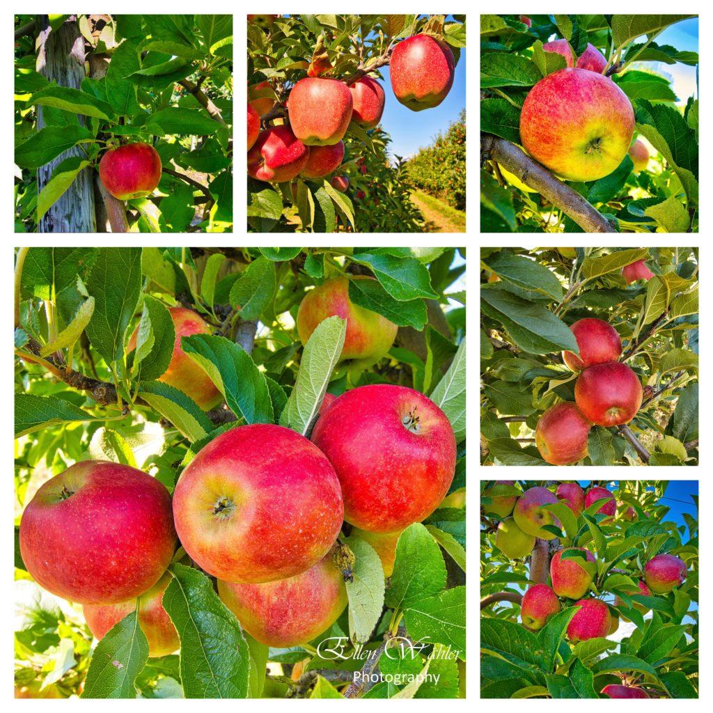 Altländer Äpfel 2021
