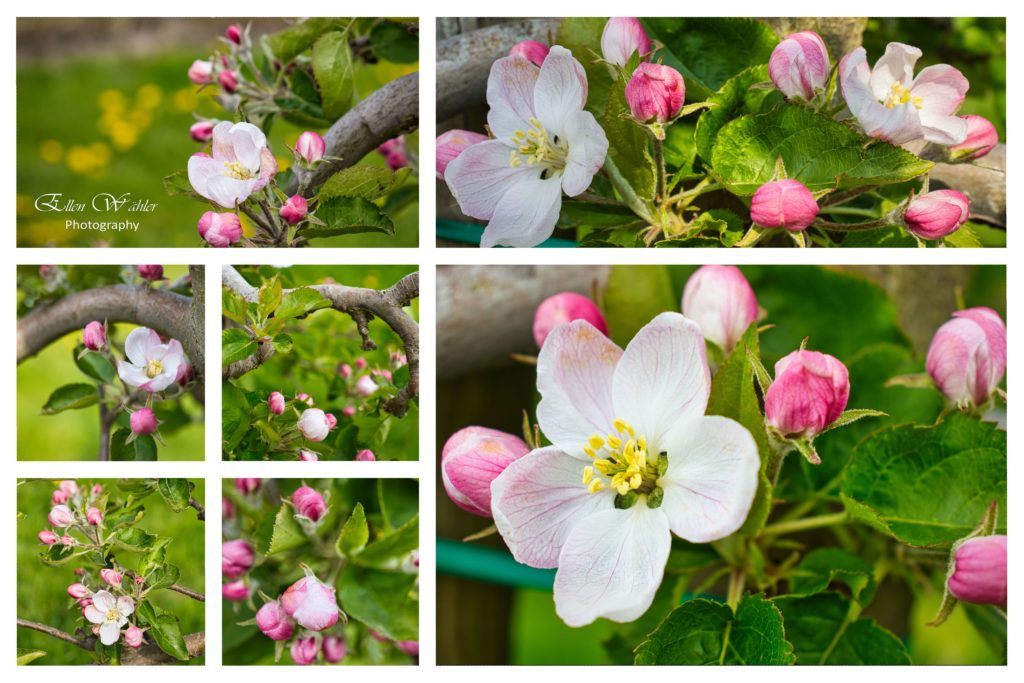Apfelblüte beginnt