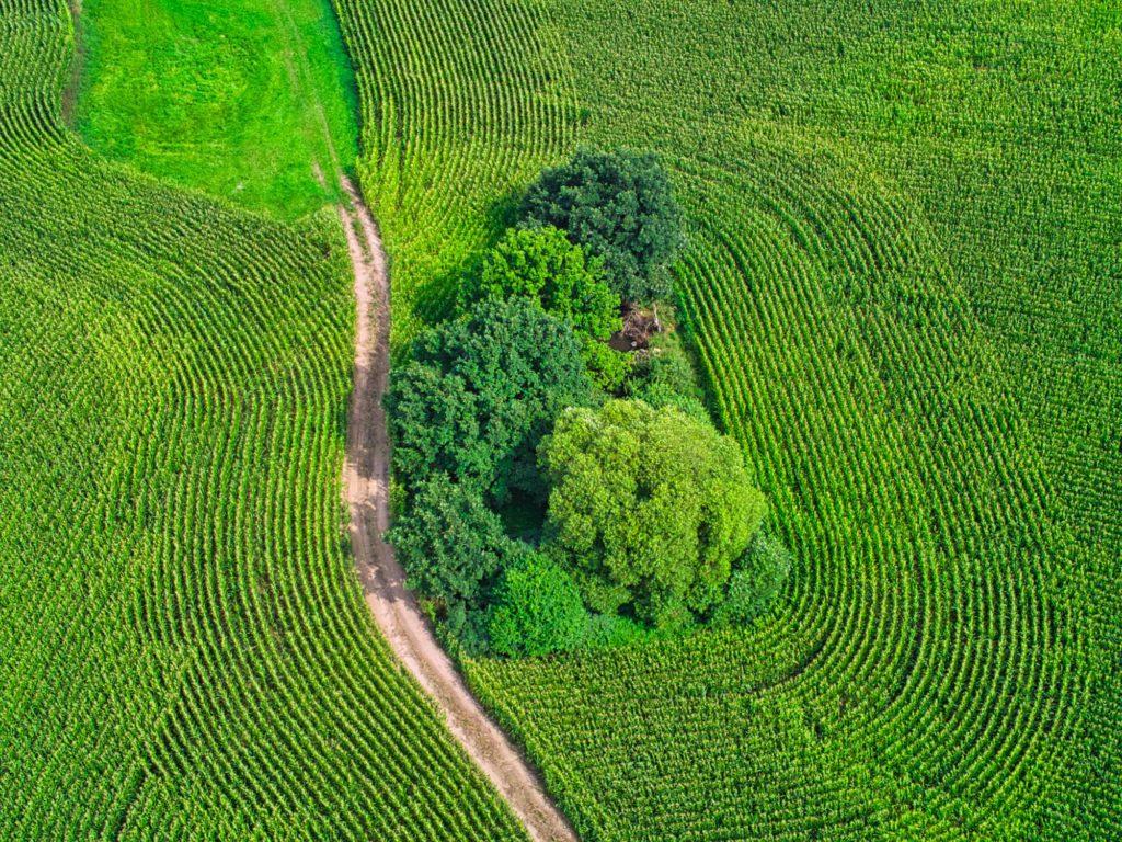 Mais im Bogen mit Weg