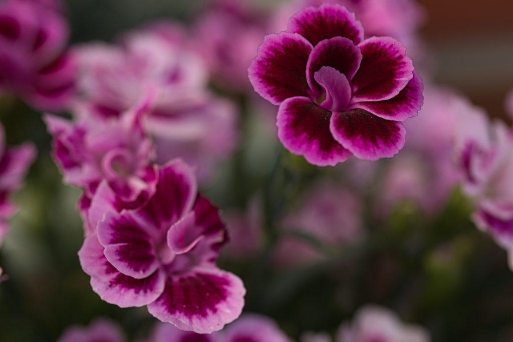 Gartennelke Pink Kisses