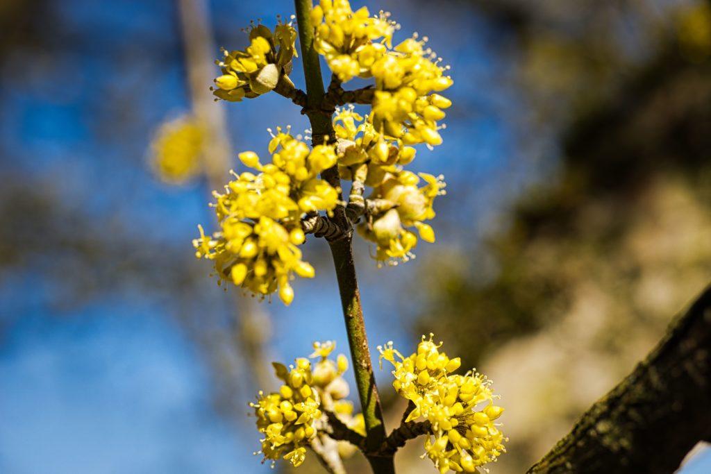 Blütenzweig Kornelkirsche