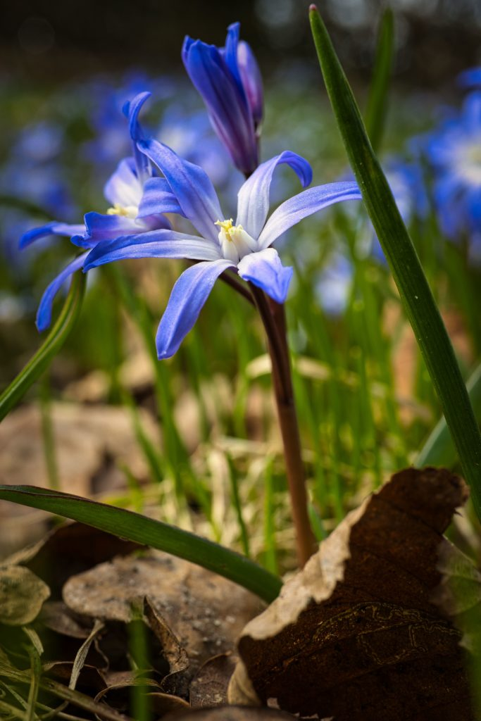 Frühlingsbote Blaustern