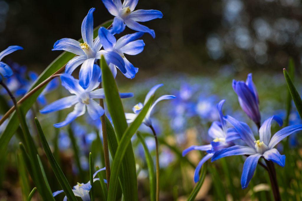 Frühling Blaustern