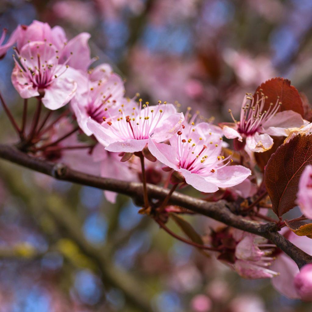 Blütenpracht Blutpflaume