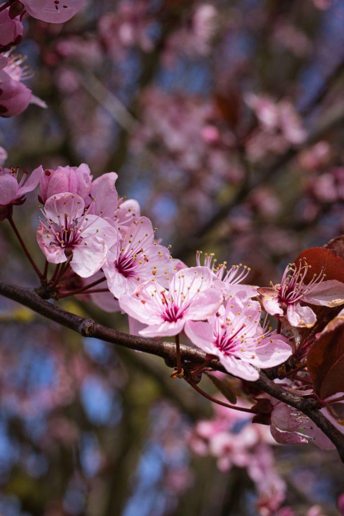 Blütezeit Blutpflaume