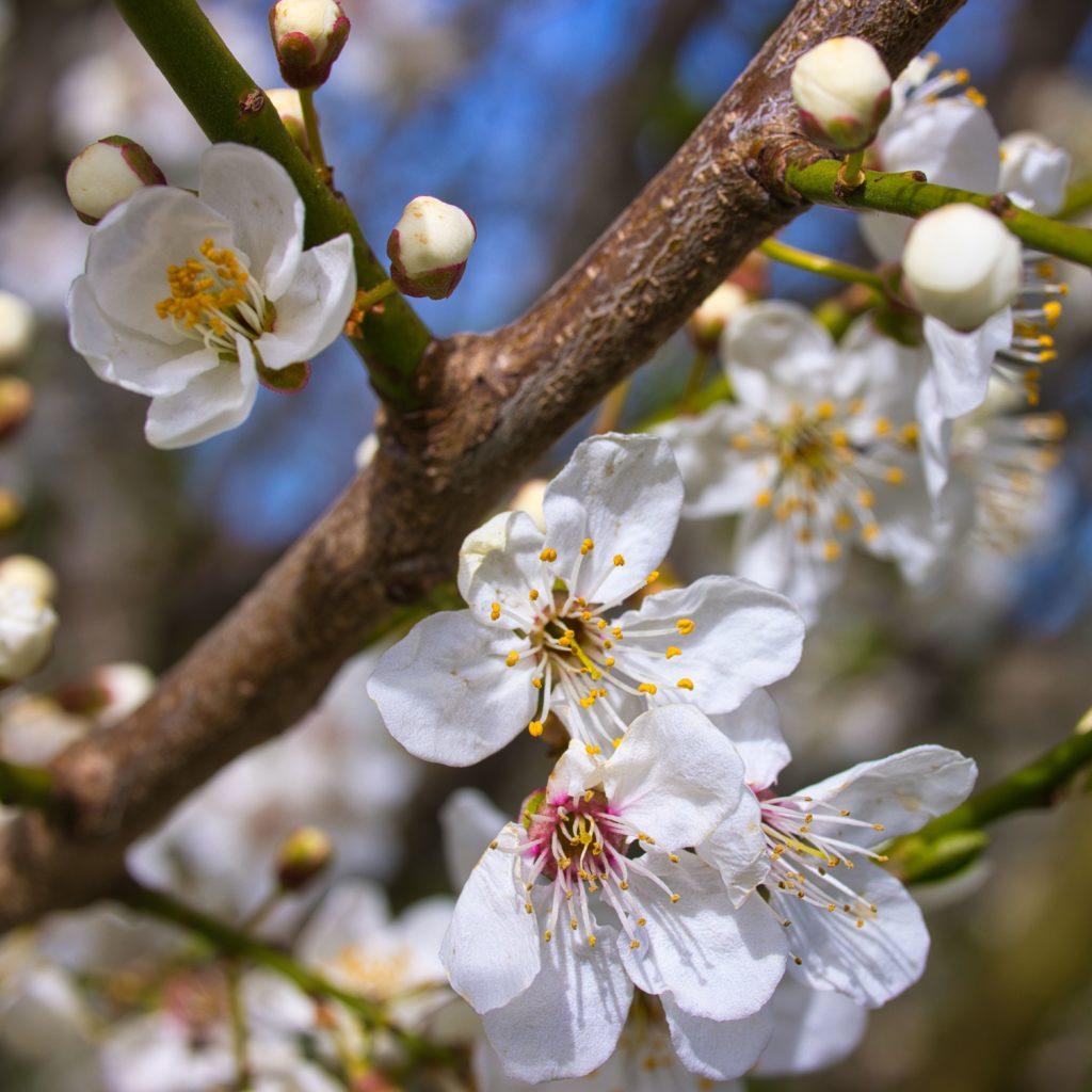 Aprilblüte Schneekirsche