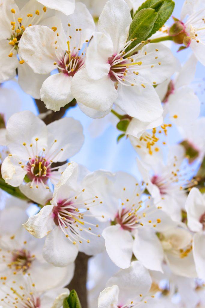 Blüte Schneekirsche