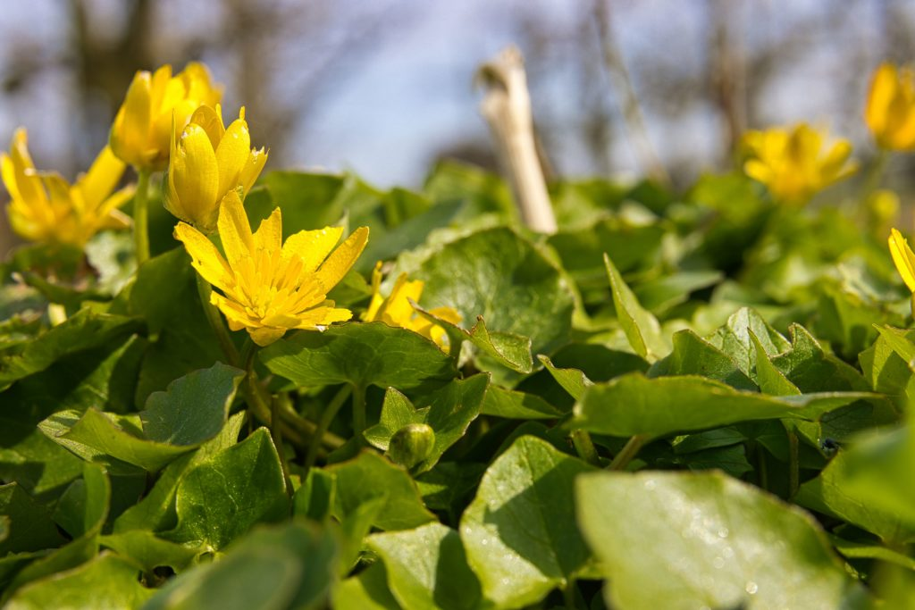 Frühlingsblüher Scharbockskraut