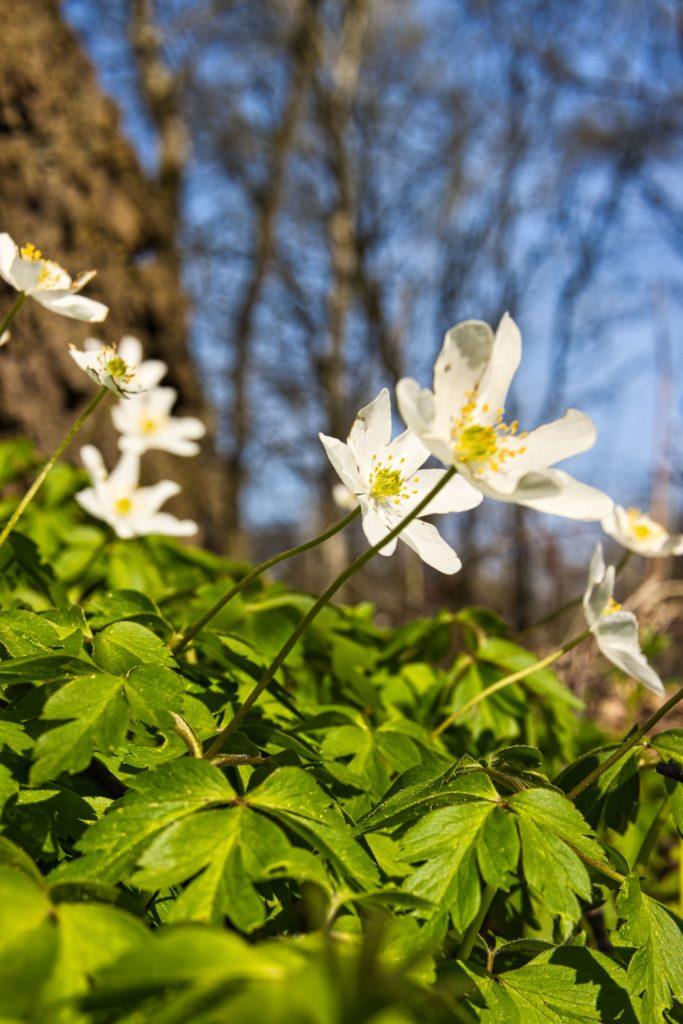 Frühlingsbote Busch-Windröschen