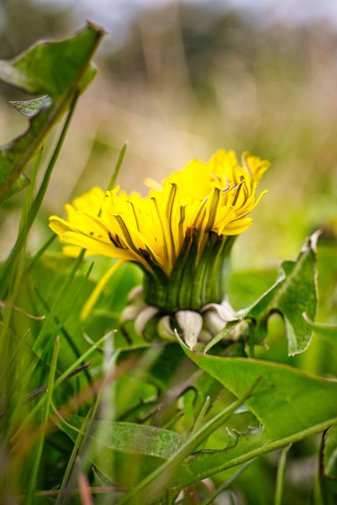 Löwenzahn Blüte halb geöffnet