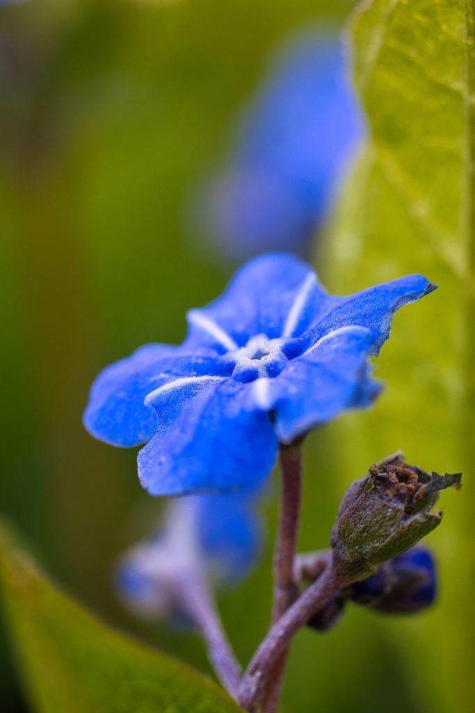 Blütenzauber Vergissmeinnicht