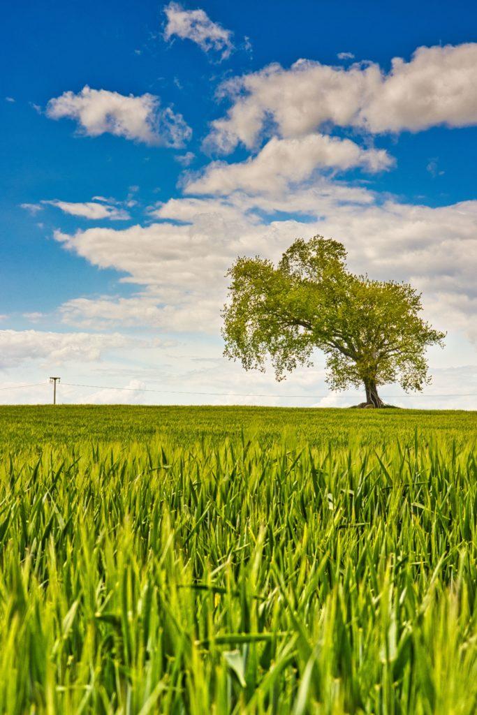 Baum im Gerstenfeld