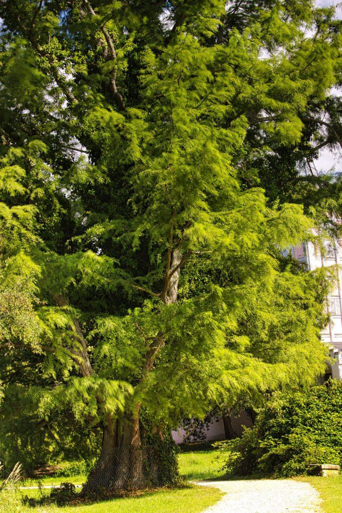Echte Sumpfzypresse Schlosspark Criewen