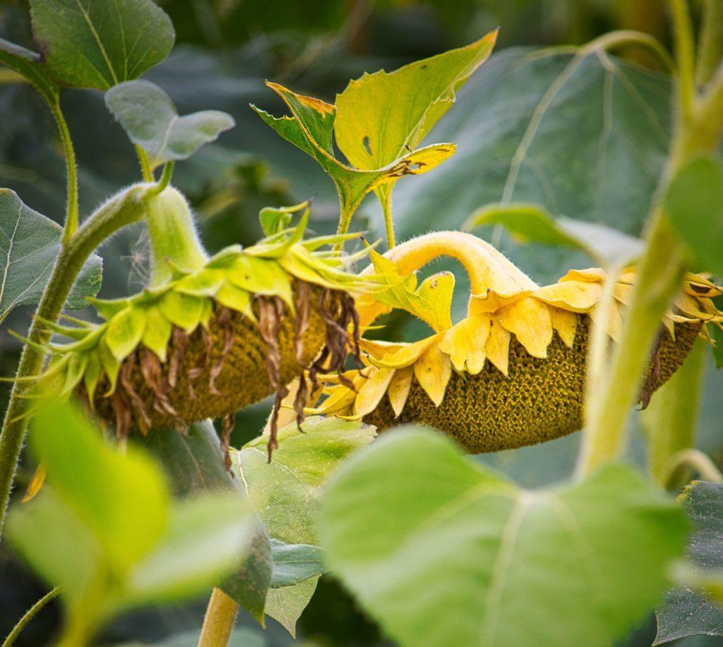 reife Sonnenblumen in der Uckermark