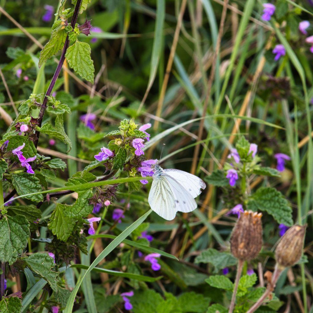 Falter an lila Blüten