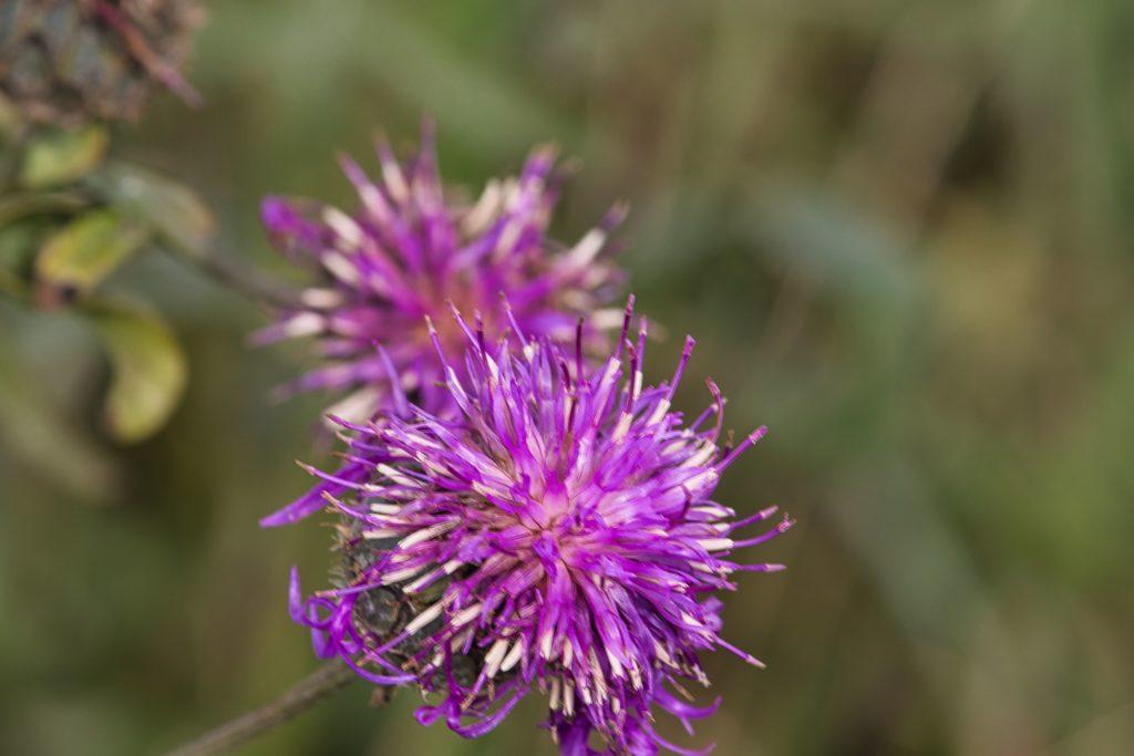 Blüte Distel
