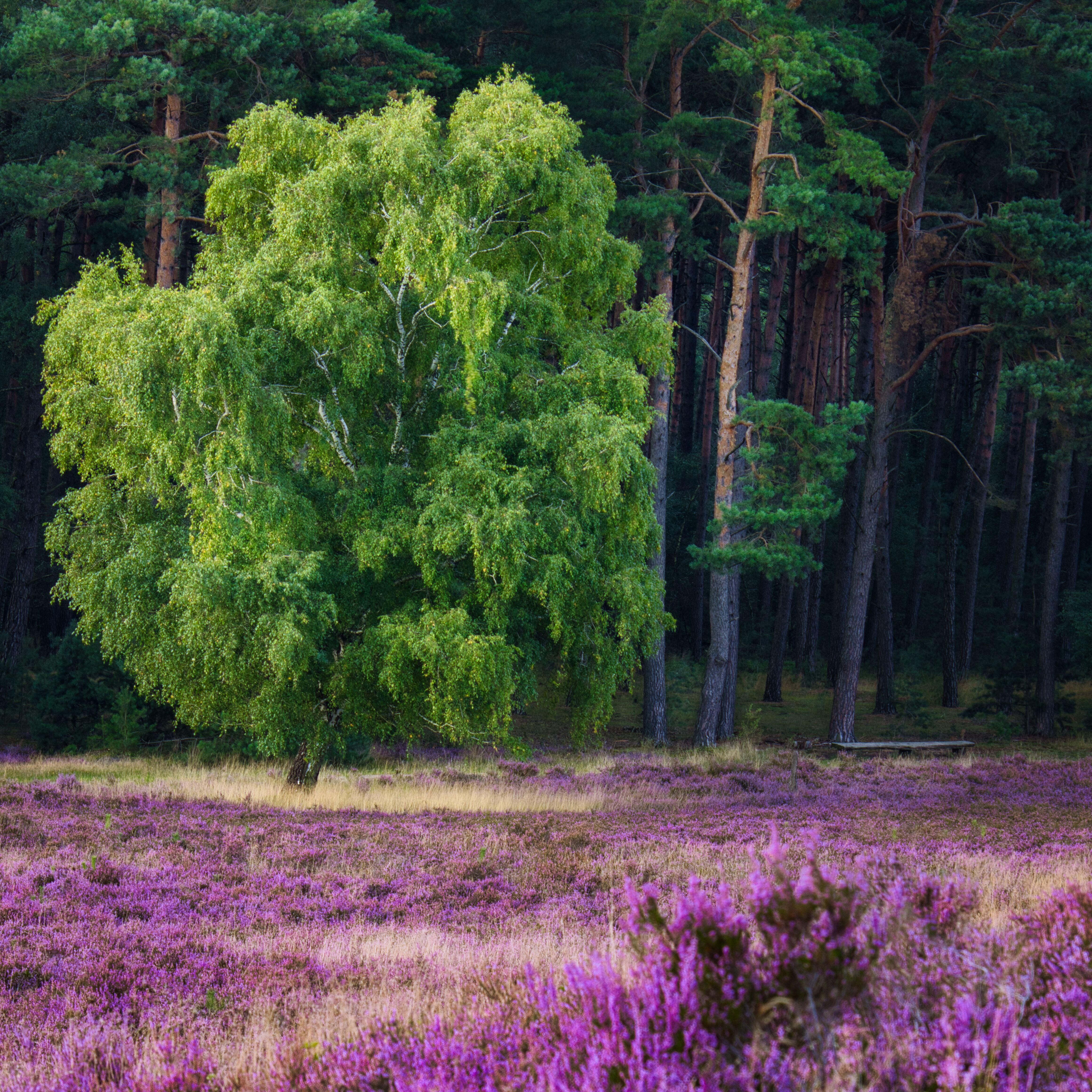 Die Fischbeker Heide blüht 2021