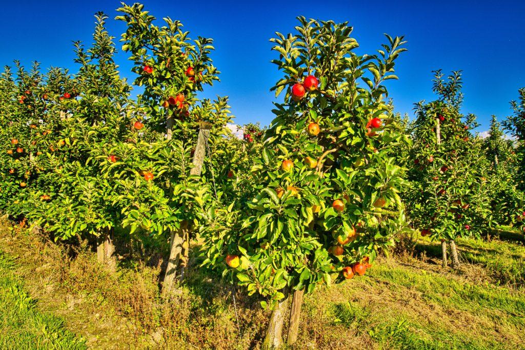 Auf der Apfelplantage - Altes Land