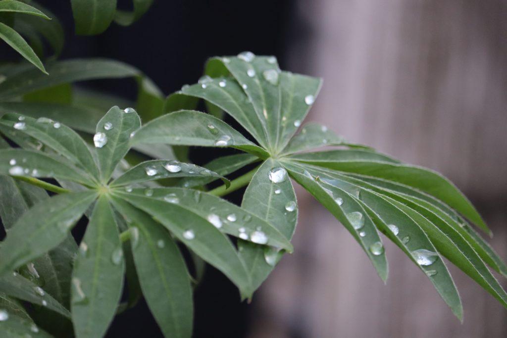 Lupine nach Regen