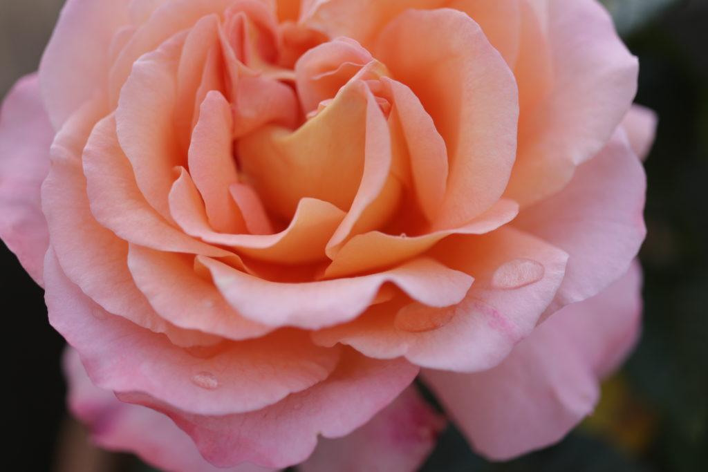Rose Augusta Luise