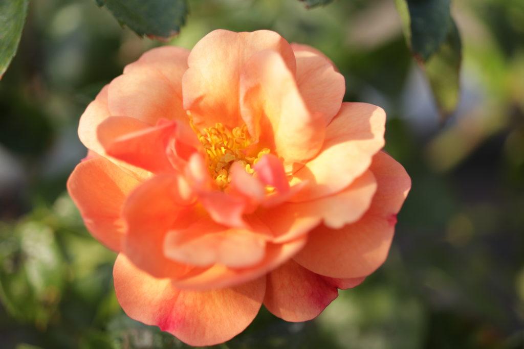 Rose lachs
