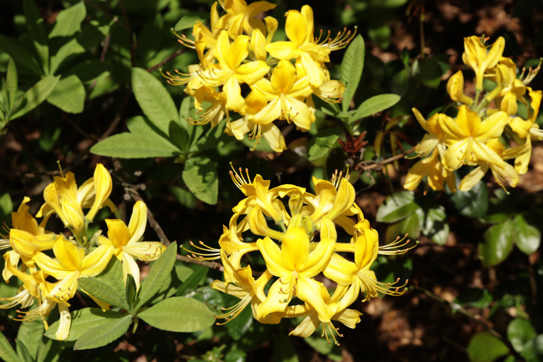 Rhododendron gelb