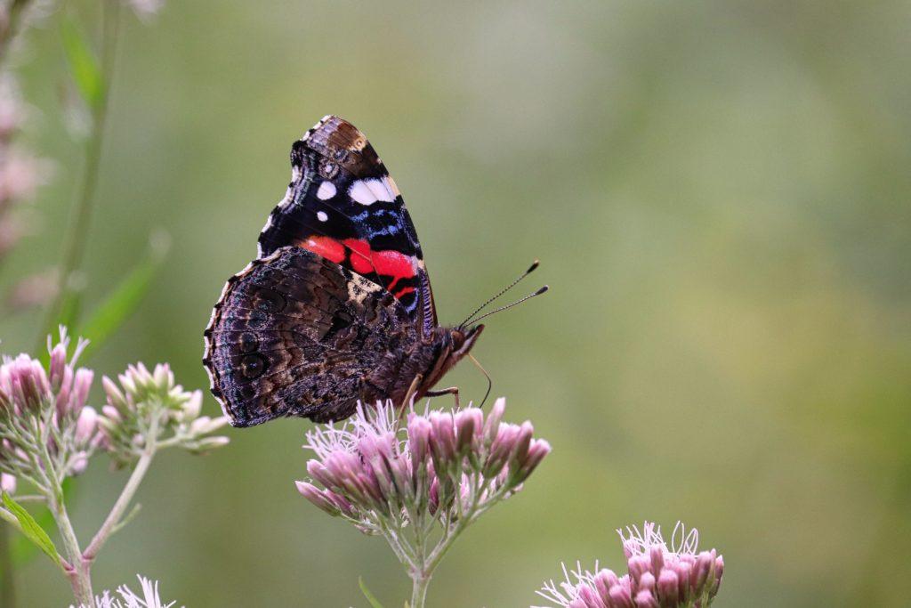 Schmetterling-Admiral